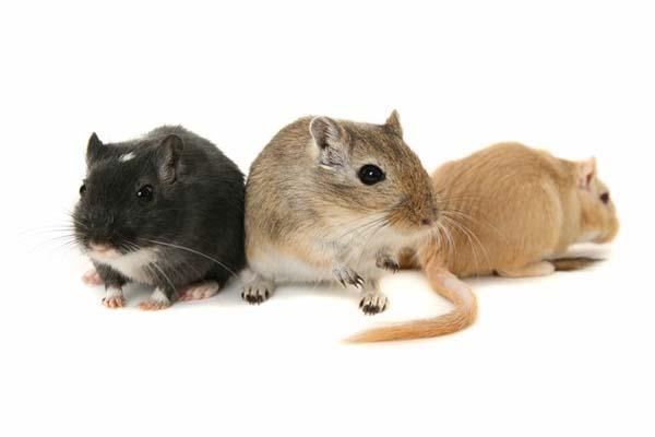 9.) A human male's genitals contain enough blood to power three gerbils (ew).
