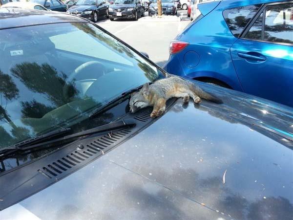 1.) This tiny fox fell asleep on one lucky person's car.