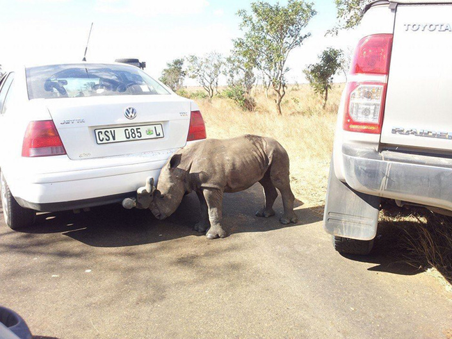 While driving, Liam Burrough noticed this young calf wandering near the road.