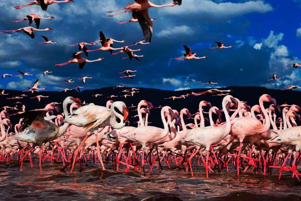 What you see is a colony of flamingos.